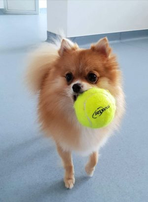 https://domeniivet.ro/wp-content/uploads/2018/10/Pomeranian-Centrul-Veterinar-Domenii-e1539210707319-300x409.jpg